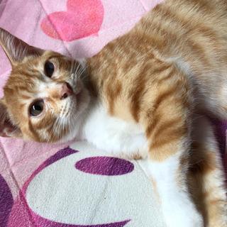 茶トラ白のオスの子猫(4ヶ月) - 里親募集