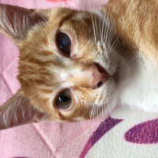 茶トラ白のオスの子猫(4ヶ月) − 埼玉県