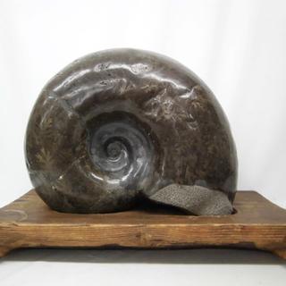 ▶アンモナイト化石 大型 幅35cm 縫合線もはっきり!! 化石...