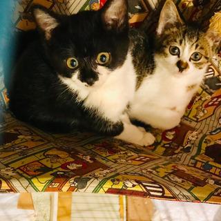 コロコロぉ〜♬豆柴みたいな?❣️猫空🐈🐈✈️兄妹❣️1.5ヶ月