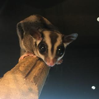 フクロモモンガ (ノーマル ♀)