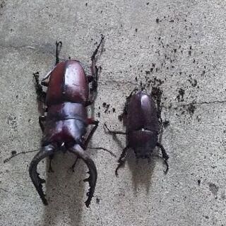茨城産の天然のカブト虫(オス、メス)、ノコギリクワカダ(オス、メ...