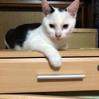 4ヶ月のオスのシロクロの子猫の画像