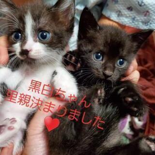 黒白&黒猫 生後1ヶ月 里親さん募集♥️