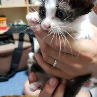 里親様募集❗生後1ヶ月の子猫 ハチワレ 女の子