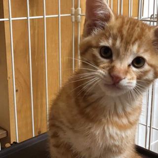 子猫 オス 2ヶ月ほど。埼玉県より。 - 猫