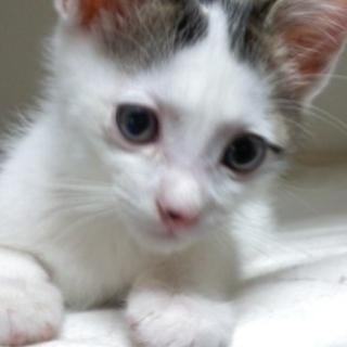もらってください!! 生後、2か月位の元気な子猫(オス)です。