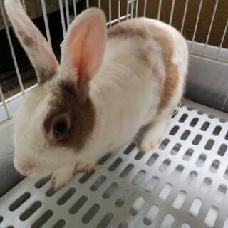 【一旦締め切ります】ミニウサギ(8ヶ月)お譲りします