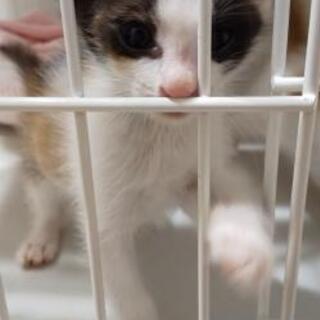 【譲渡決定💖】生後約1ヶ月~2ヶ月の子猫♀の里親募集