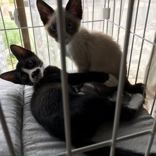 生後2ヶ月子猫兄弟(シャム系  黒白)
