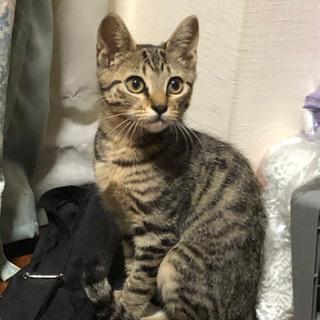 可愛いキジトラの仔猫(オス 推定3ヶ月)を保護しました。大切に育...