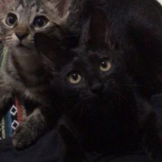 【里親さま決定】3ヶ月半の女の子♡黒猫こつぶちゃん − 埼玉県