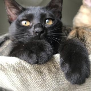 【里親さま決定】3ヶ月半の女の子♡黒猫こつぶちゃん - 里親募集