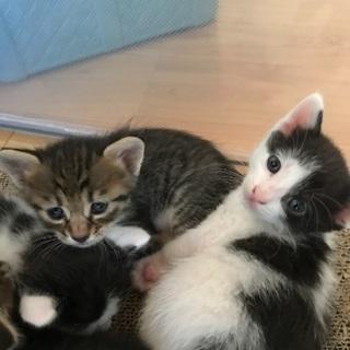 生後1ヶ月の黒白ぶち猫 キジトラ 兄弟です。