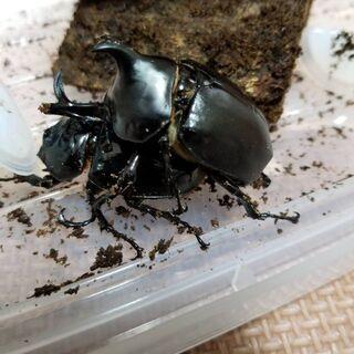 ダビディスカブトムシ幼虫5匹