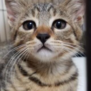 子猫1匹の里親さん募集しています