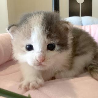 ❤️❤️血統書付き子猫5万円から。ブリティシュ、ノルウェージャ...