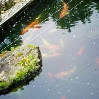 錦鯉、真鯉、金魚