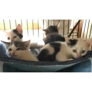 生後2ヶ月の子ネコ(4匹)の里親さんを探しています