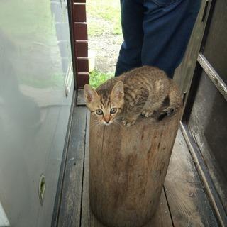 御池に子猫が生まれました。キジトラ メス