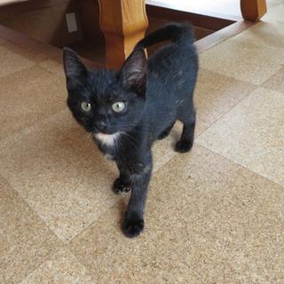 2ヶ月姉妹猫  黒猫オクラちゃん