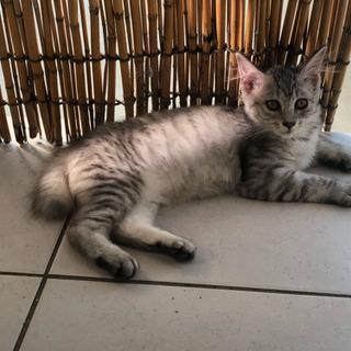 【里親さん決まりました】里親さん募集 子猫 メス 生後2カ月