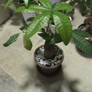 🍀観葉植物 ミニパキラ&ミニライオン