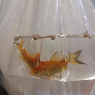 【無事元気な状態で引き取って頂けました】駅に捨てられた金魚2匹。