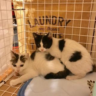 5月生まれ 飼い主がいません、の前回募集の子猫に兄弟がいました