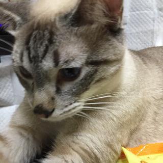 一歳半   シャム柄ブルーの目   雄猫くんです