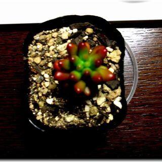 【ツブツブ葉っぱがカワイイ多肉植物】『虹の玉』2号ポット入り苗...