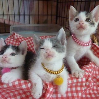 (一旦受付停止) 生後1.5月の子猫3匹の里親募集 白黒さん(男...