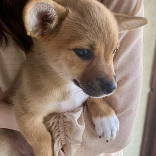 子犬(雑種)女の子※里親募集☆2ヶ月半☆