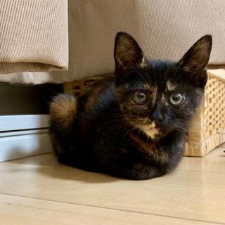 サビ柄の子猫(推定2ヶ月前後)