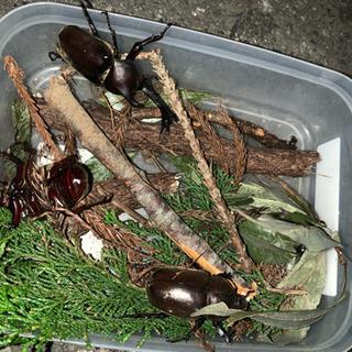 昆虫採集案内します カブトムシ クワガタ