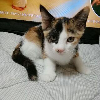 3きょうだいで生まれた三毛猫♀