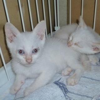 とても可愛いブルーアイの赤ちゃん猫!