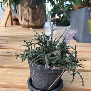 観葉植物 リプサリス テラコッタ鉢付き