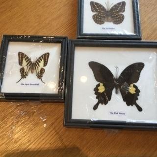 蝶の標本 3点 セット