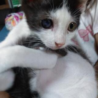 トライアル中です!2~3ヶ月のハチワレ子猫です!