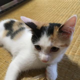 三毛猫メス生後2カ月ちょっとです。