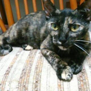 1歳位のメス猫ちゃん サビちゃんです