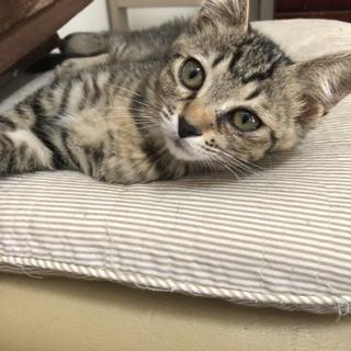 猫ちゃんの里親募集!約3ヶ月~4ヶ月位の子猫 数匹おります。 - 塩竈市