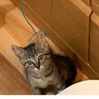 チコちゃん、2か月。猫らしさが好きな方に。