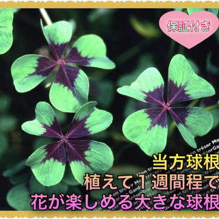 10球 オギザリス【野放し・手間いらず】999