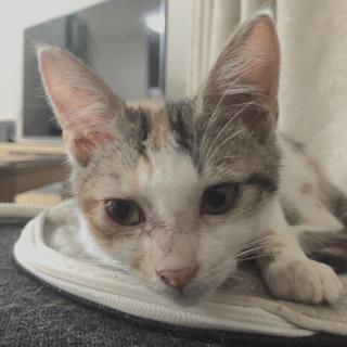 生後2ヶ月三毛猫 人懐っこく甘えん坊です