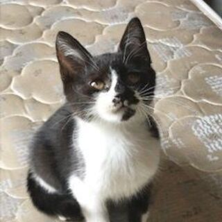 黒白オス子猫活発な甘えん坊
