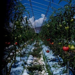 大玉トマトの収穫作業です