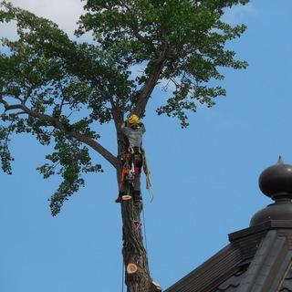庭木の伐採・高木の高所剪定 お任せください。  JAA公認アーボ...