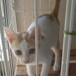 生後約3ヶ月の子猫♀の新しい家族募集中!